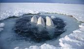 Threats to Beluga Whales