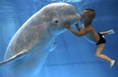 Trophic Significance of Beluga Whales