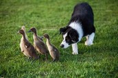 Sheepdog Helping