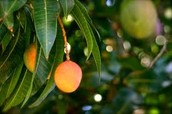 Mangoes on a Tree