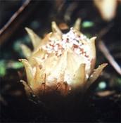 Dactylanthus