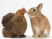 4-H Poultry & Rabbit Clinic