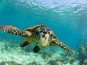 Swim with the sea turtles!