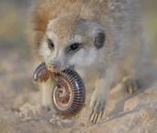 Meerkats are Carnivores!