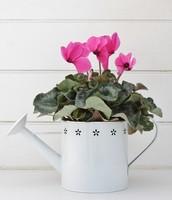 cyclamen flower plant