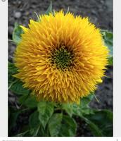 My grandma loved to grow sunflowers