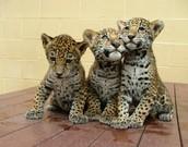 Young jaguars!!!!!!!!