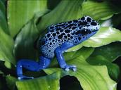 Poison Dart Frog-