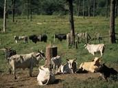 Cattle Ranching - Amazon