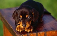 Tan and Black Coonhound Puppy