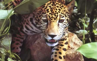 Yaguareté