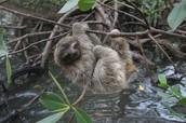 pygmy