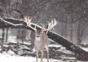 deer at winter