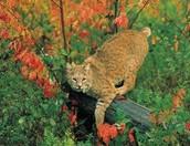 Bobcat (land)