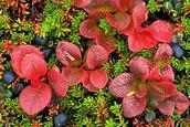 Chukotka flower