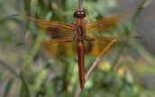 The Flame Skimmer- Adult