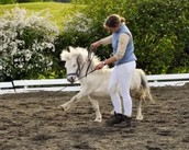 mini horse being trained