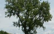 single-leaf pinyon