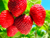 How Many Inches Do Strawberry Plants Grow?