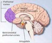 Medial Prefrontal Cortex