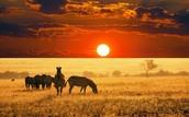 Zebras grazing