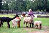 Pet Sheep and Alpacas