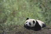 Panda's Habitat
