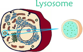 The Lysosomes