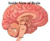 The Cerebellum controlls...