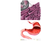 The Endoplasmic Reticulum and the Human Gullet