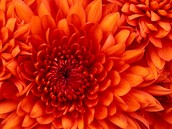 Chrysanthemum for Homecoming