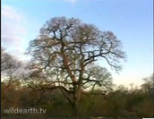 Jackalberry Tree