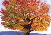 Maple Oak Tree