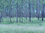 Long-Leaf Pine Savannahs