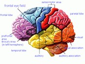 How do anabolic steroids affect the brain?