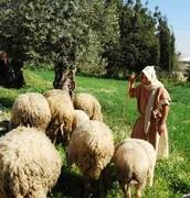 A Shepherd