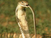 Cobras:How they eat/what they eat