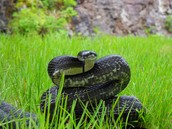 The rat snake demonstrates what necessities?