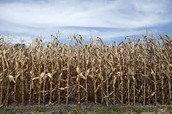 Drought effects on crops