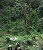 Giant Panda's in the Wild