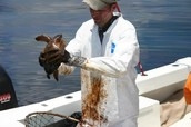 Loggerhead sea turtle covered with oil from an oil spill