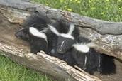 Skunk Hibernation