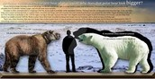 Polar bears can get bigger than a person and a grissly bear