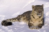 Picture of Snow Leopard Lying In The Snow