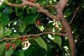 תותי עץ בזמן צמיחתם