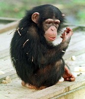 Chimpanzees are so Cute!