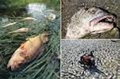 Fish are dying