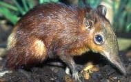 Golden Elephant Shrew