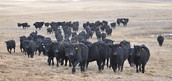 About 1,000 head black Angus, here are a few