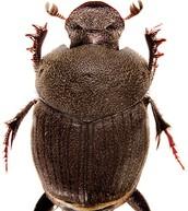 MEET the New Dung Beetle Species!